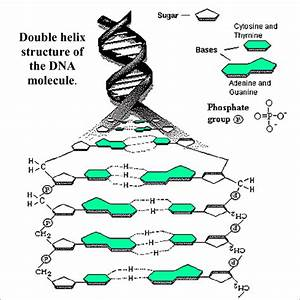 The Structure Of Deoxyribose Nucleic Acid  Dna   Showing