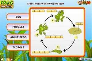 Amphibian Life Cycle Diagram