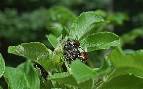best way to get rid of japanese beetles your worst garden enemies and how to get rid of them