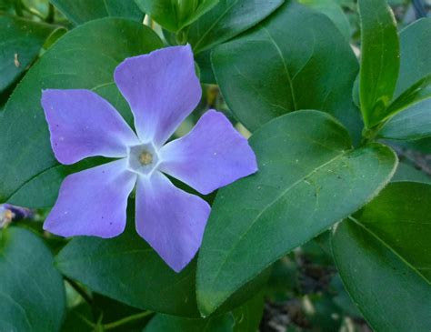vinca flowers good witches magickal flowers and herbs vinca