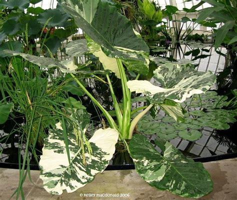 variegated elephant ear plant plantfiles pictures variegated upright elephant ear giant taro wild taro variegata