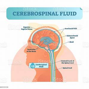 Cerebrospinal Fluid Vector Illustration Anatomical Labeled