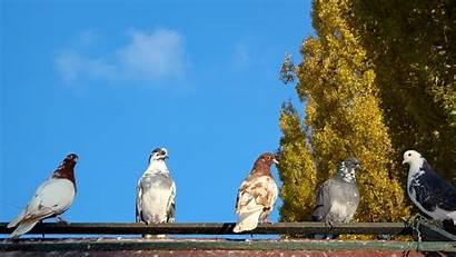 Pigeon Birds Pigeons Trees Wallpapers Bird Background