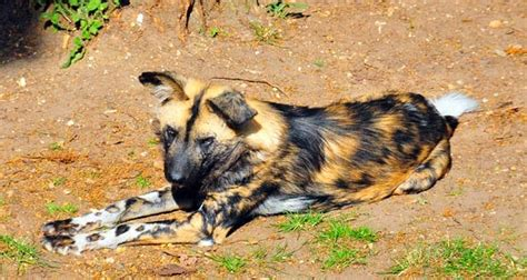 prince kingsley african wild dogs