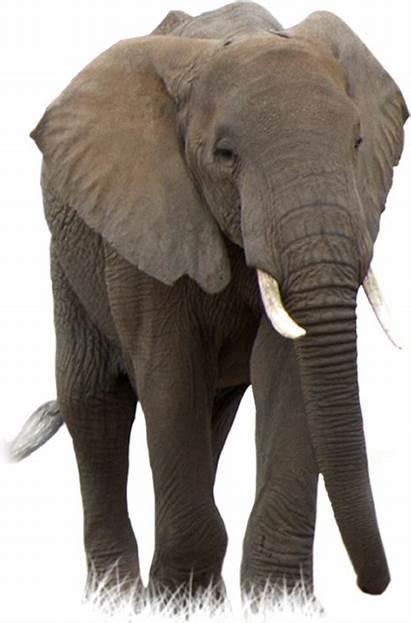 Elephant Savanna Poaching Modern Awf Lion