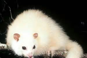 White Lemuroid Ringtail Possum