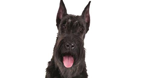 giant schnauzer dog breed information american kennel club