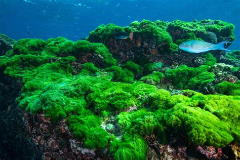algae ocean alga marine producers chain seaweed popcorn organism bacon pasta bed level thailand verde getty plants animal each works