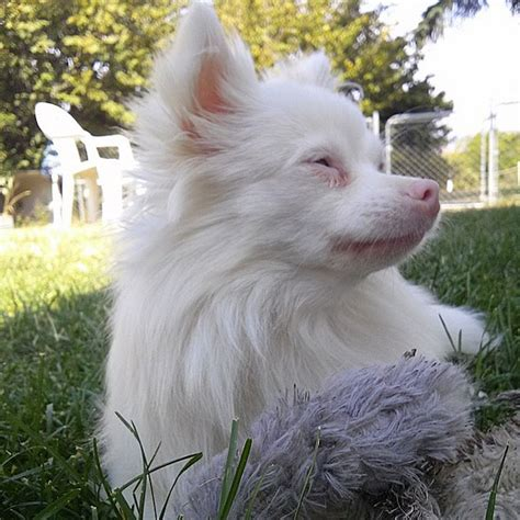 difference  albino dogs  white dogs