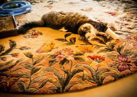 do maine coon cats shed their mane and all that fur how to reduce the shedding of your maine