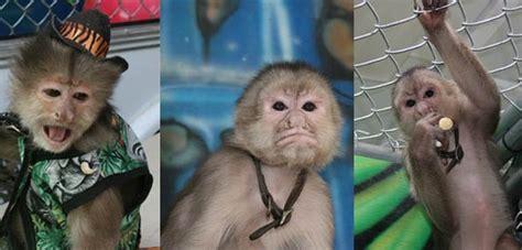 organ grinder monkey  entertainment contractor