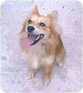 Foxy | Adopted Puppy | Lomita, CA | Pomeranian/American ...