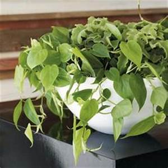 zimmerpflanzen pflegeleicht Epipremnum aureum efeutute