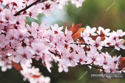 Closeup view of Japanese cherry blossoms on tree branch