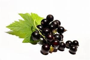 Schwarze Johannisbeere Pflanzen : schwarze johannisbeere pflanze in dresden pflanzen ~ Lizthompson.info Haus und Dekorationen