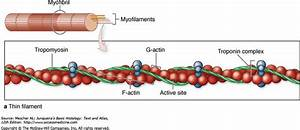 15 Best Chapter 11  Muscular Tissue Images On Pinterest