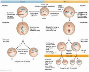 Mitosis  U00ab Kaiserscience