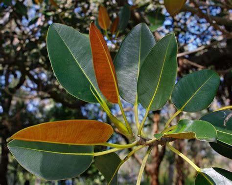 ficus macrophylla leaves subsp rust deep columnaris coloured glossy gardensonline undersides rusty plant