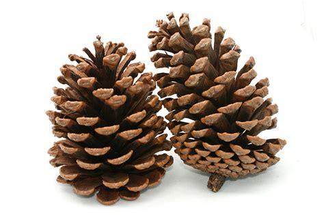 škrinja kreativnosti pinecone christmas