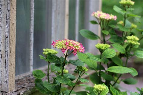 eichenblatt hortensie schneiden hortensien bauernhortensien schneiden anleitung wann