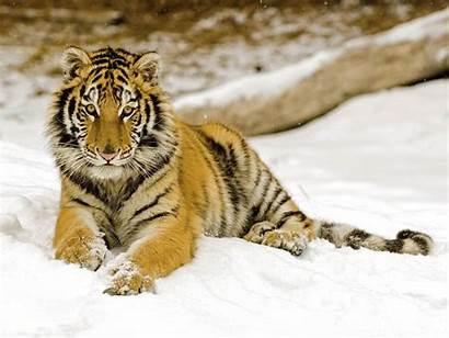 Tiger Desktop Wallpapers Backgrounds Definiton