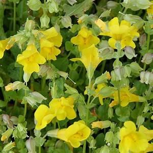Blühende Sträucher Für Sonnigen Standort : gauklerblume mimulus luteus dieser dankbare dauerbl tler ~ Watch28wear.com Haus und Dekorationen