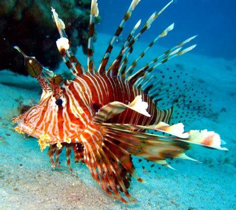 feuerfisch fisch fotosde