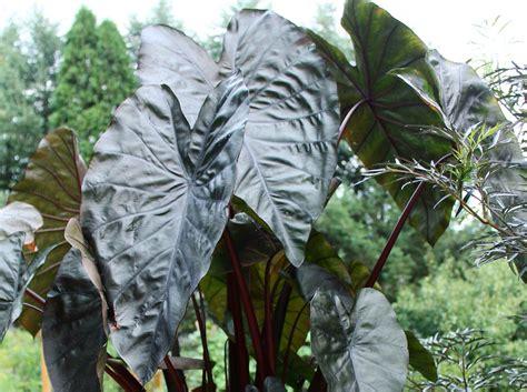 black elephant ear plants elephant ears royal hawaiian black coral garden housecalls