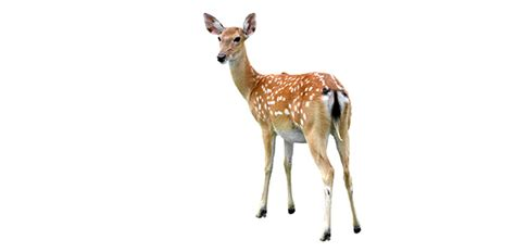 deer flashcard  deer flashcards proprofs