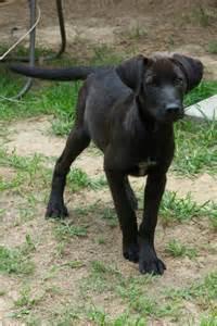 Black Lab Bloodhound Mix