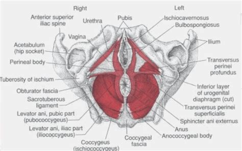 female pelvic floor muscles diagram hot girls wallpaper
