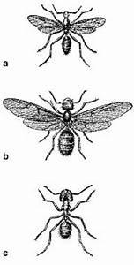 Ameisen Mit Flügel : ameisen lexikon der biologie ~ Buech-reservation.com Haus und Dekorationen