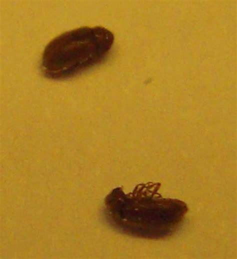 insecte de cuisine bête à carapace qui vole dans cuisine