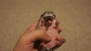 Baby Hedgehog Yawn - YouTube