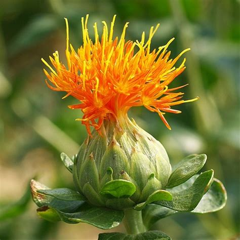 carthamus orange carthamus quot safflower quot flowers and