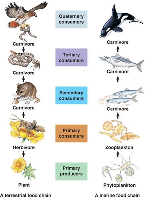 food chain vocab primary producers primary secondary