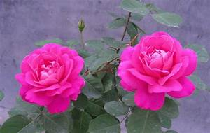 Download free most beautiful, best & lovely rose flower ...
