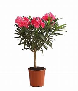 Oleander Winterhart Kaufen : oleander st mmchen dehner ~ Eleganceandgraceweddings.com Haus und Dekorationen