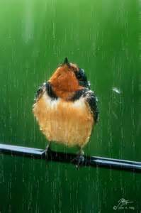 Birds Bathing in the Rain