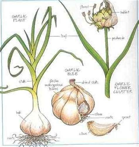 seed to feed me growing garlic in containers