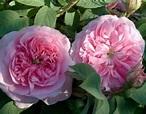 'Queen of Denmark' rose | Pink Alba, Historic Rose
