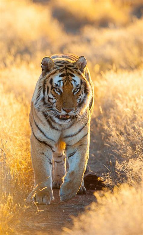 Best Animals Big Cats Tigers Images Pinterest
