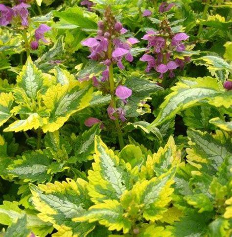 lamium greenaway lamium a gracious groundcover perennial journal garden design montreal perennial flower