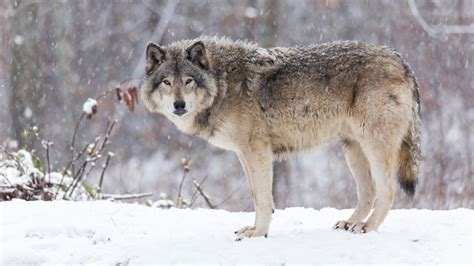 Oregon hunter shoots wolf in self defense   goHUNT