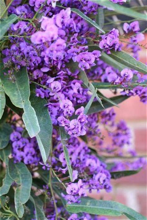 11 Best Images About Hardenbergia On Pinterest Sweet