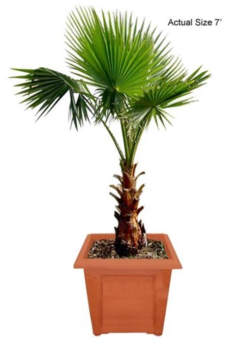mexican fan palm care mexican fan palm tree washington palm washingtonia robusta