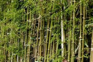 Bambou A Planter : bambou cultiver et tailler ooreka ~ Premium-room.com Idées de Décoration