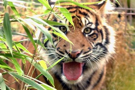 south lakes tiger zoo safari cumbria park animal wild zookeeper north mauled sumatran padang died dies chroniclelive