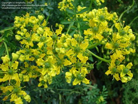 rue plants plantfiles pictures common rue garden rue herb of grace herbygrass ruta graveolens by