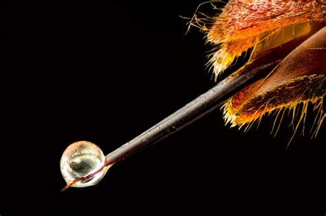 vespa velutina asian hornet venom stinger